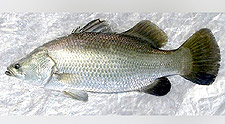 Asian Sea Bass