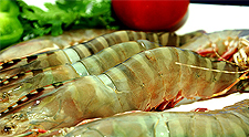 Green Tiger Prawn